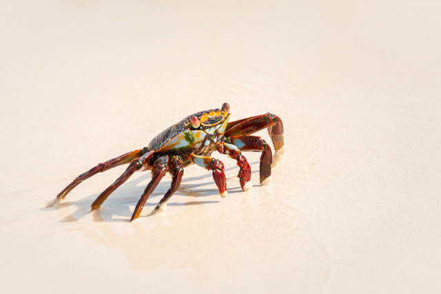 Sally Lightfoot Crab on the Beach