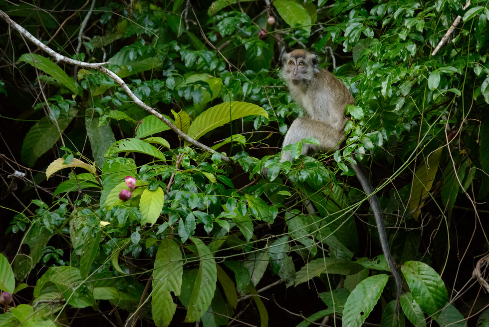 Long-tailed Macaque in Tree