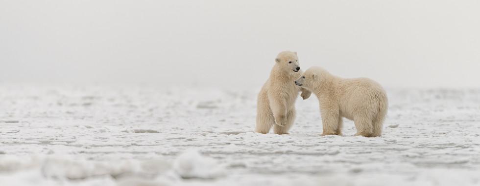 Polar Cub Playtime