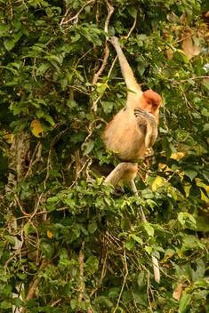 Female Proboscis Monkey Hanging in Tree.