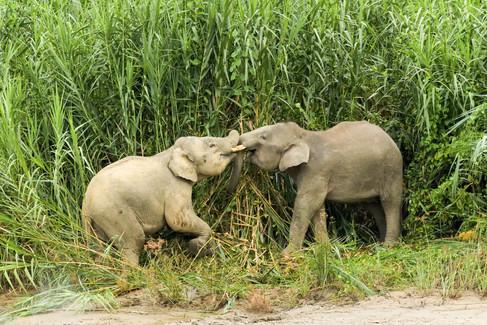 Pigmy Elephants Playing