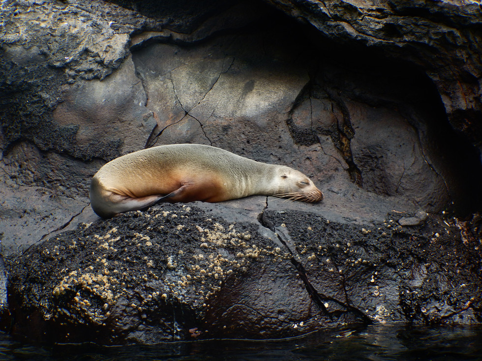 Sea Lion in Lava Cave