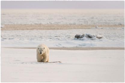 Polar Bear with Baleen