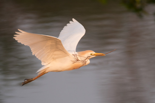 Cattle Egret with stick