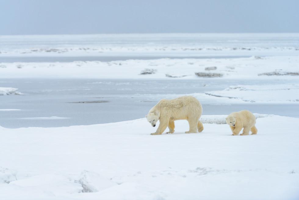 Polar Bears Walking
