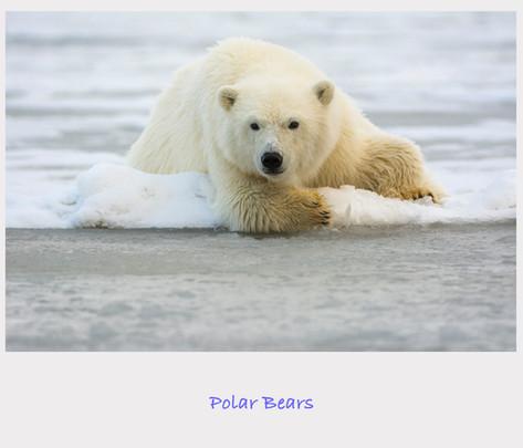Polar Bear Cover.jpg