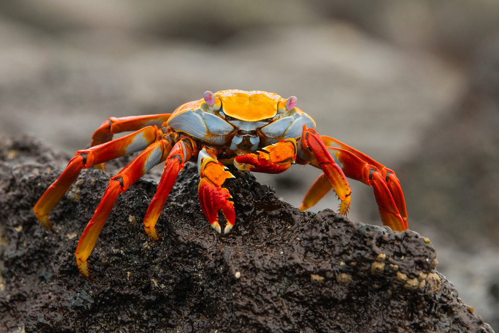 Sally Lightfoot Crab on Lava Rock