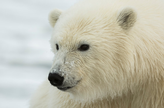 Polar Bear Cub Close-up