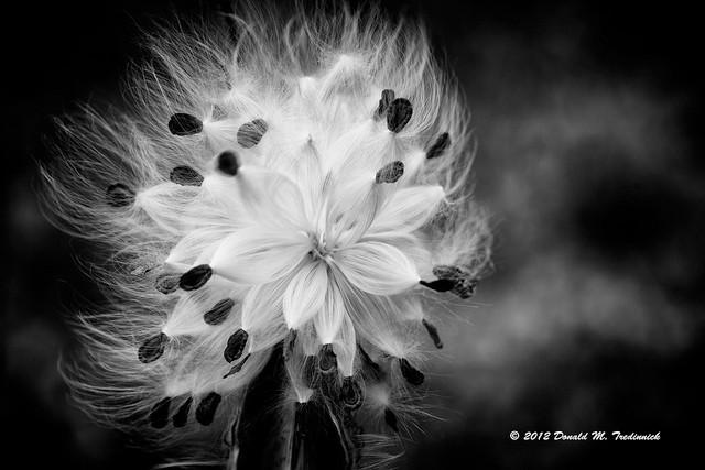 milkweed in the wind