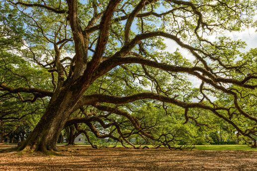 Oak Alley Plantation Grounds