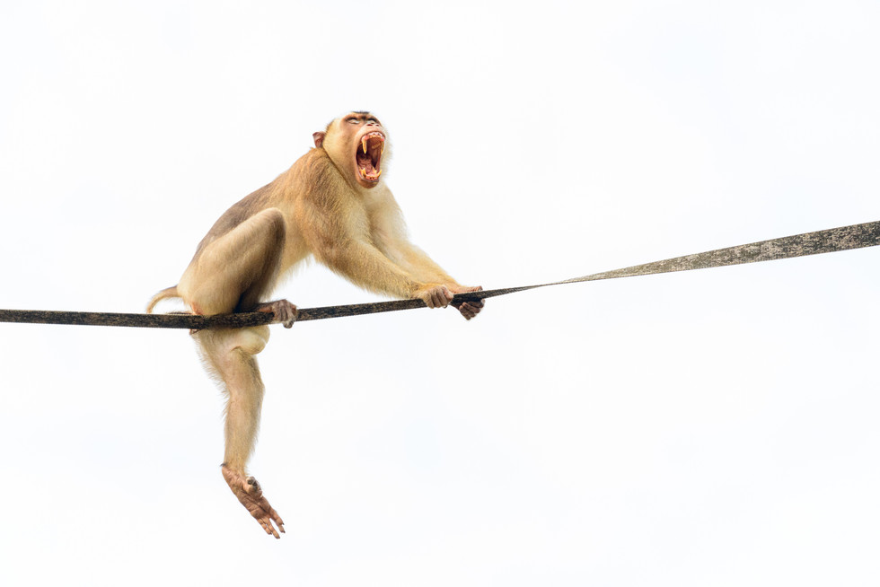 Pig-tailed Macaque on Bridge Showing Teeth