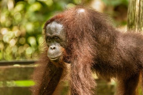 Orangutan on Platform