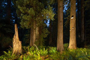 Light Painting in the Redwoods