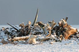 Polar Bears at Bone Pile