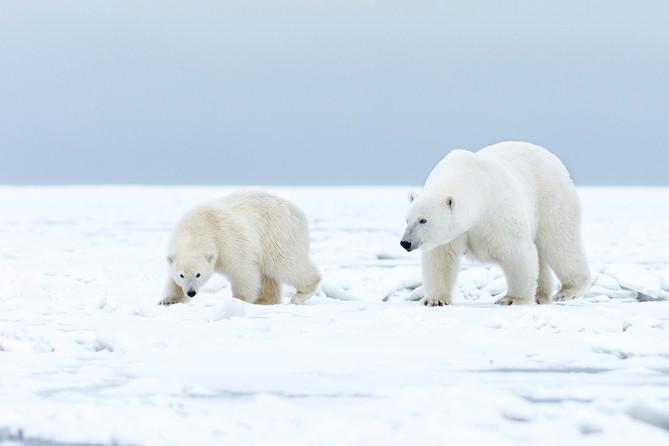 Polar Cub and Mom
