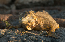 Land Iguana in the Sun