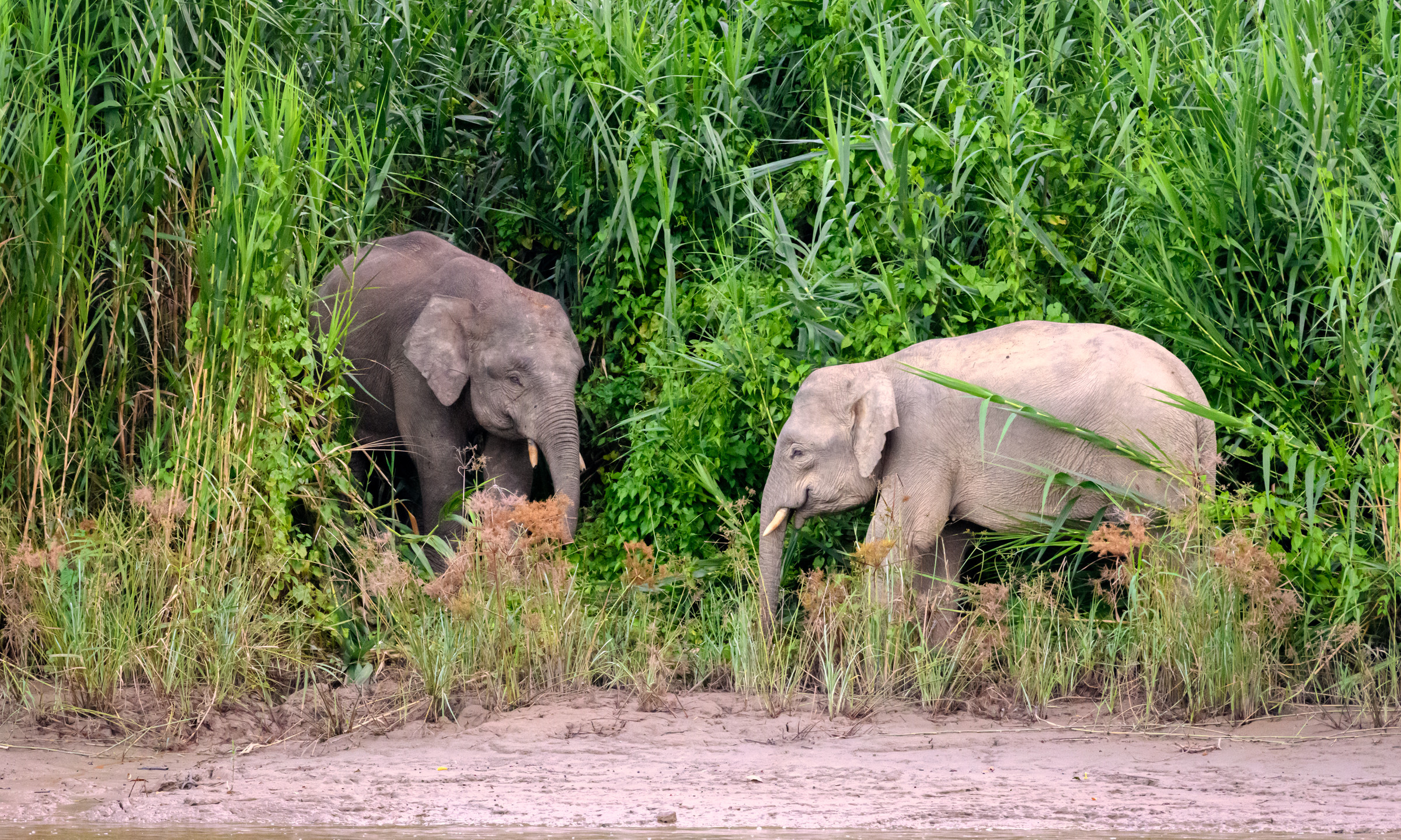 Pigmy Elephant Encounter