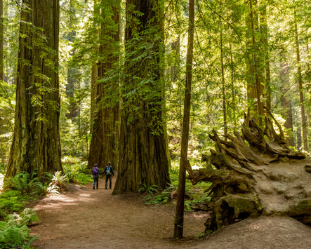 Redwoods - Avenue of the Giants