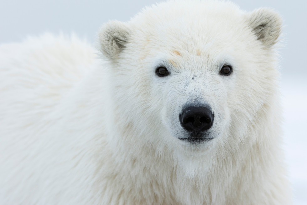 Polar Cub Close-up