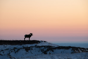 Solitary Ram at Sunset