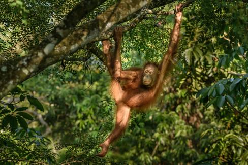 Orangutan Swinging through the Trees