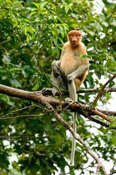 Female Adult Proboscis Monkey