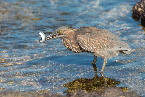 Striated Heron Dinner Time