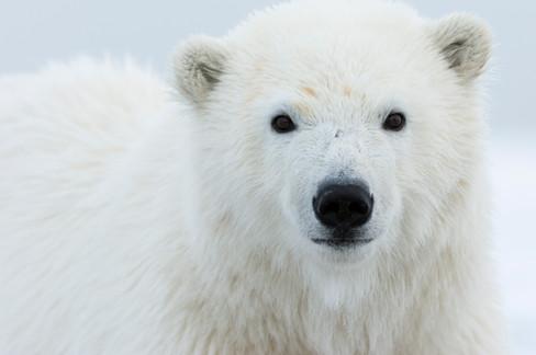 Polar Bear Cub with Blood on Face