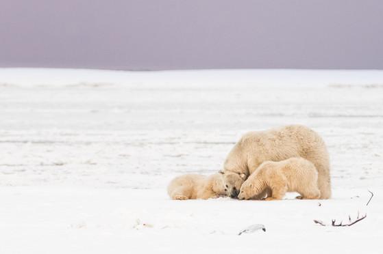Polar Bear Meal Time