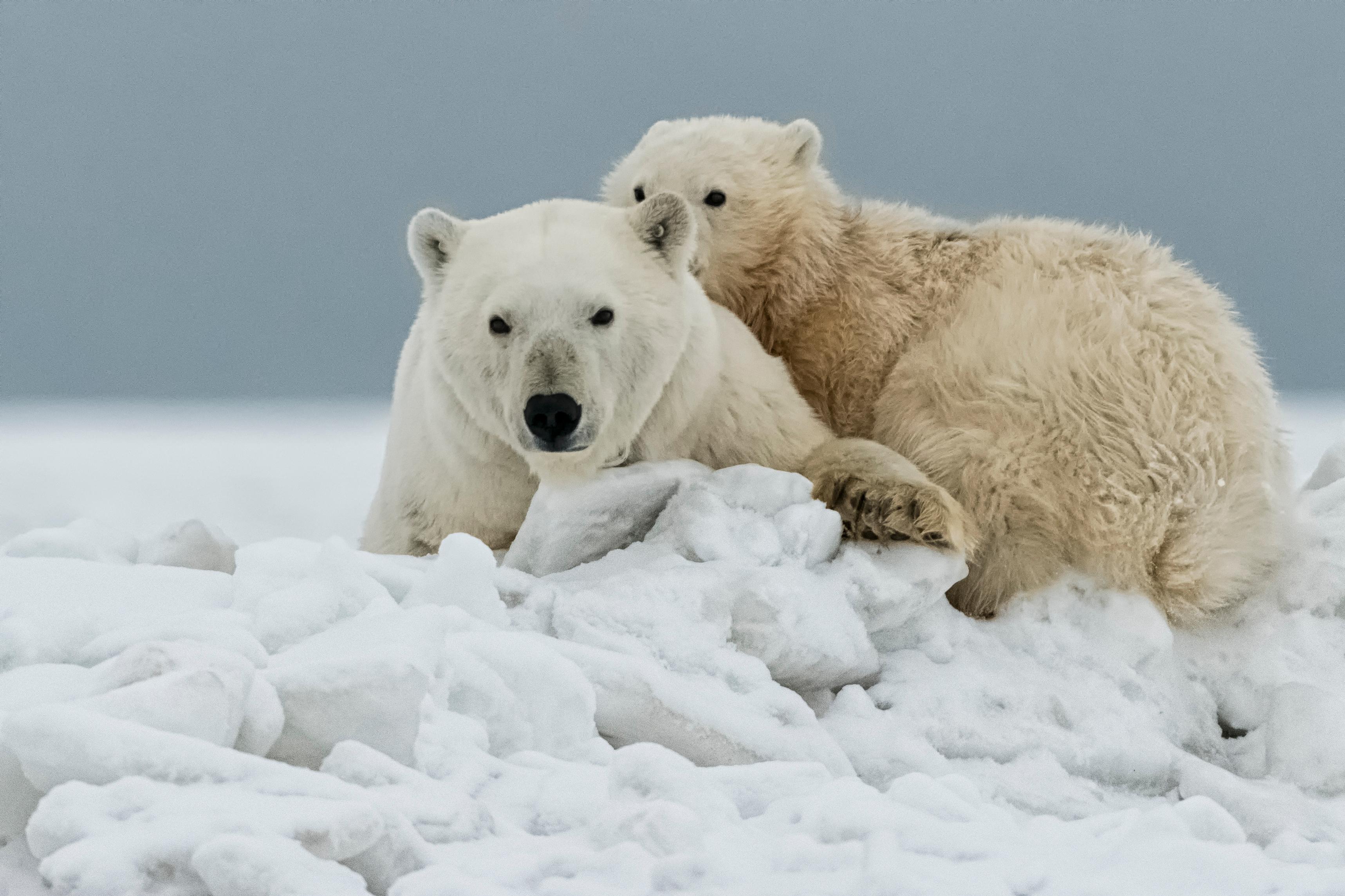 Polar Cub Hiding Behind Mom
