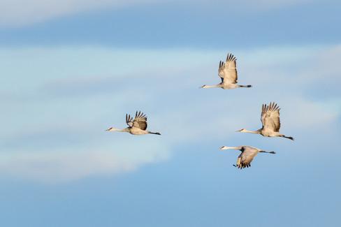 Sandhill Crane Morning Fly By