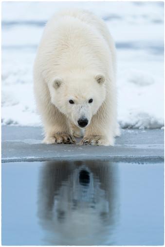 Polar Bear Cub Waiting to Pounce