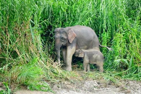Pigmy Elephant Nursing