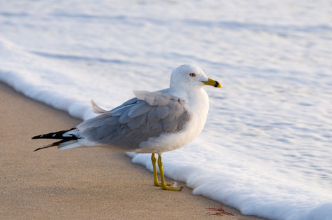 Seagull at the Waters Edge