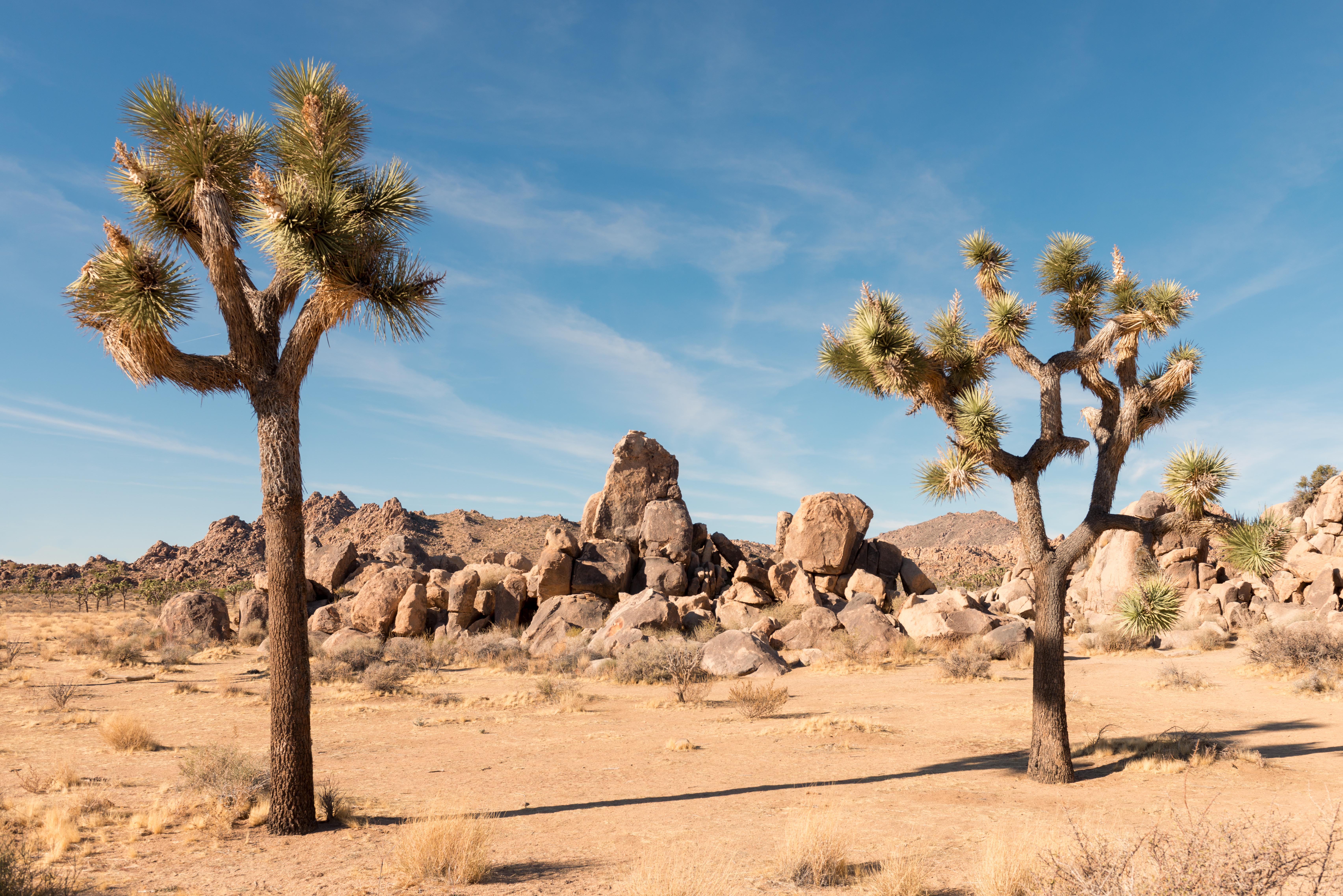 Joshua Trees and Rocks