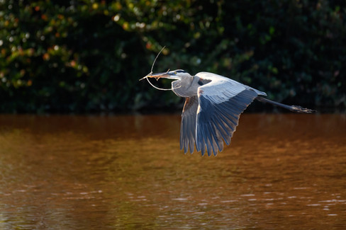 Great Blue Heron Returning from the Lumber Store