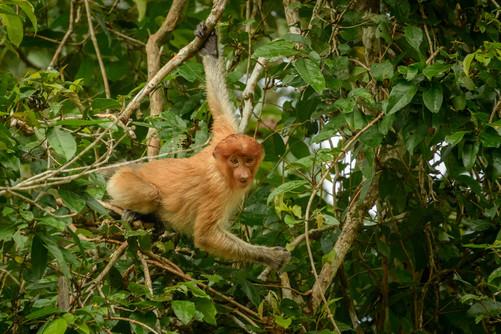 Juvenile Proboscis Monkey Moving in the Trees