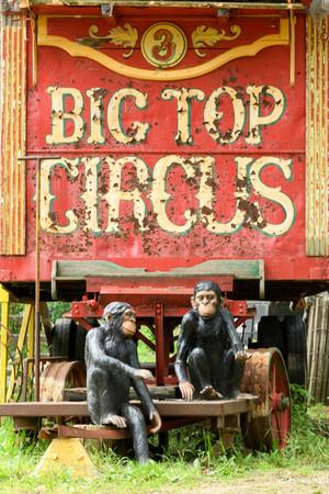 Circus Chimps