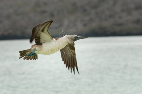 Blue Footed Boobie in Flight