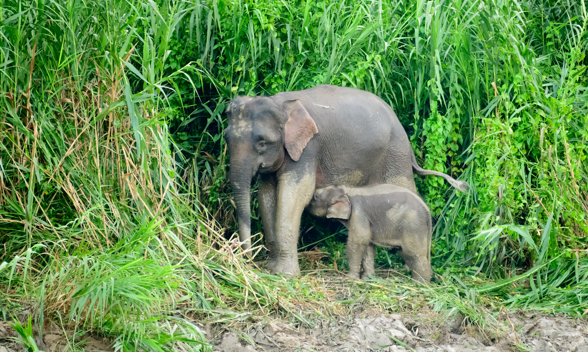 Elephant Nursing
