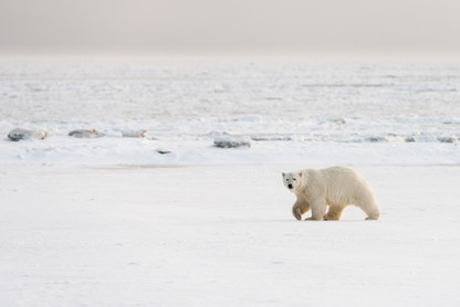 Polar Bear Strolling Past