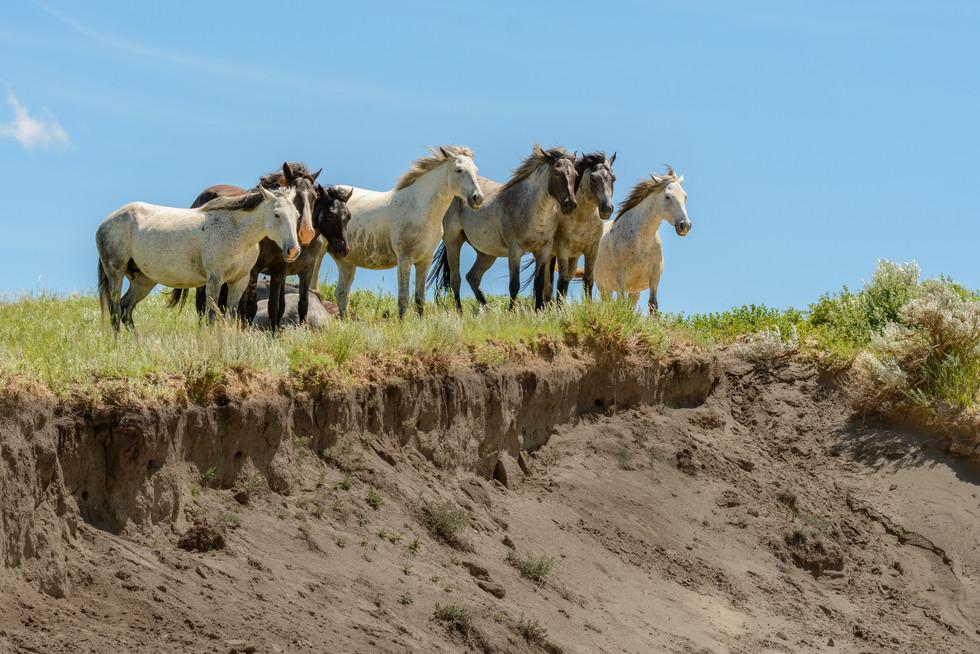 Theodore Roosevelt - Wild Horses