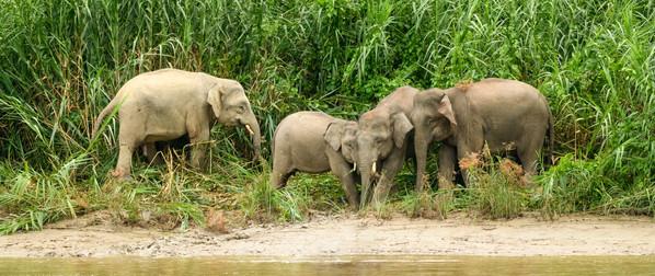 Pigmy Elephants Along the Riverbank