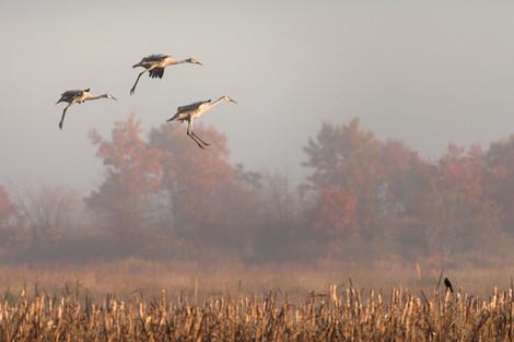 Inbound Sandhill Cranes