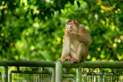 Pig-Taled Macaque Contemplating Life