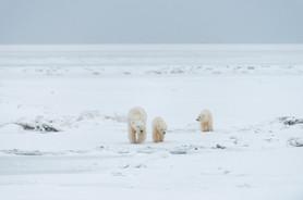 Polar Bears Walking up the Beach