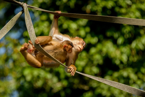 Pig-tailed Macaque with Child on Bridge