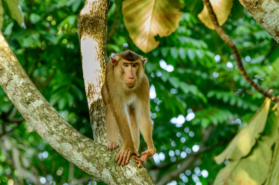 Pig-Tailed Macaque Looking to Pounce