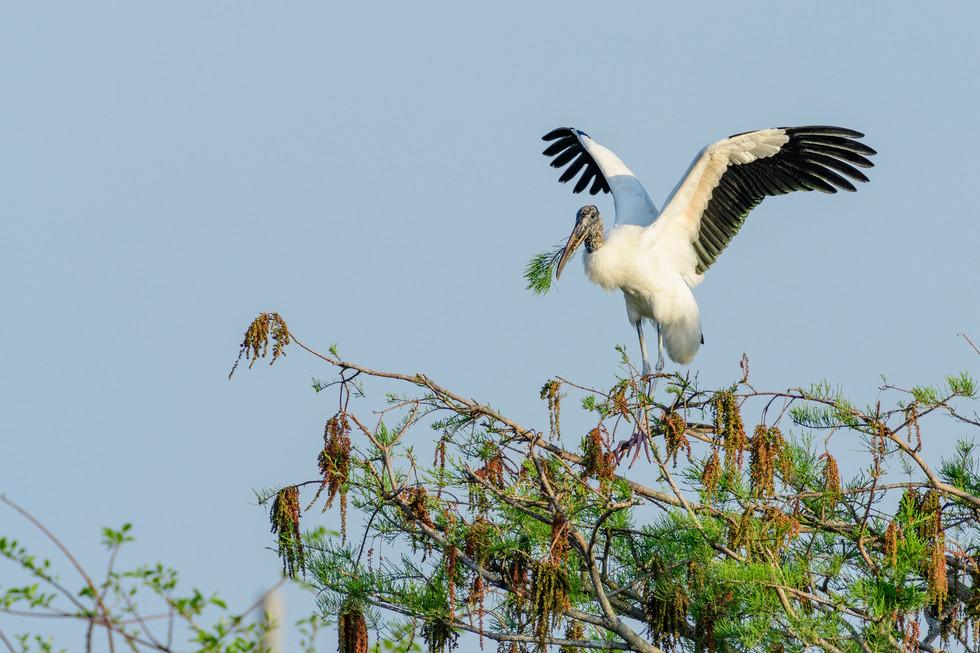 Wood Stork Preparing for Takeoff
