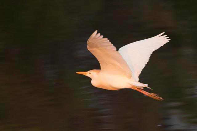 Cattle Egret Flying Away